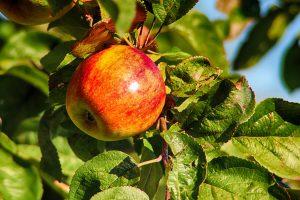 תפוח לשנה החדשה