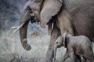 אמא פילה עם בנה - ליווי הורי